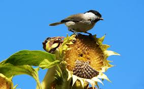 sunflower seeds with birds